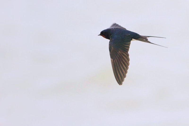 Barn swallow Hirundo rustica kmečka lastovka_MG_0202-111.jpg