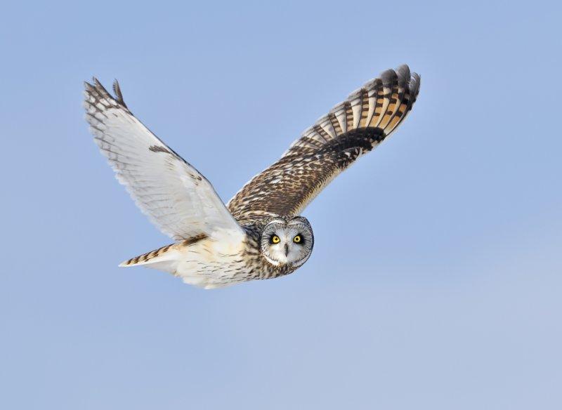 _NW86607 Short Eared Owl in Flight