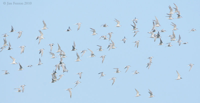_NW00314 Returning Terns