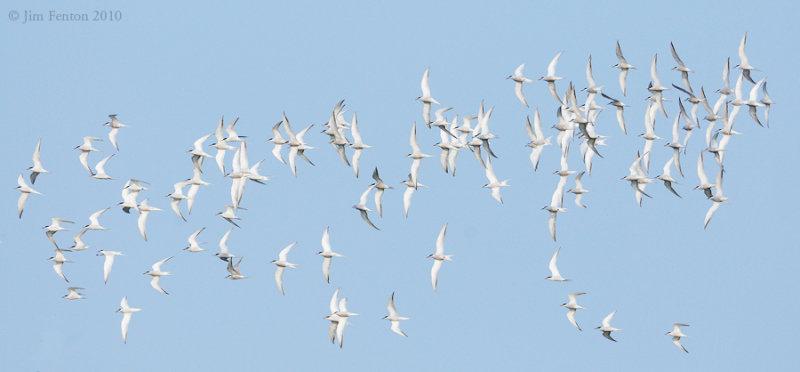 _NW00326 Returning Terns