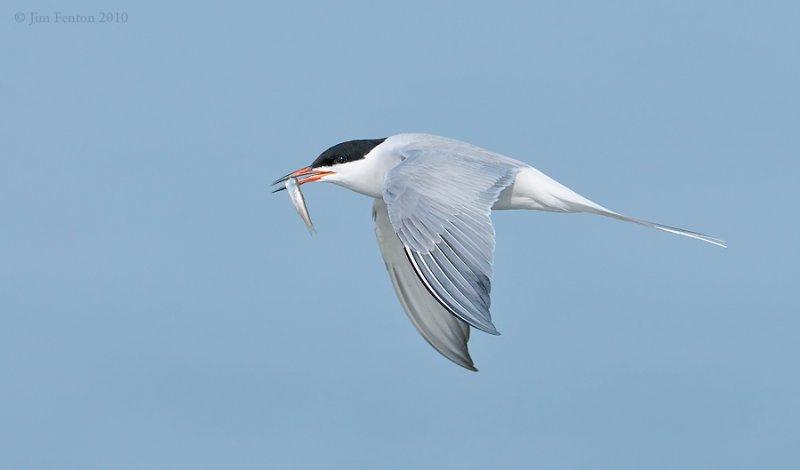 _NW00471Com,mon Tern With Prey
