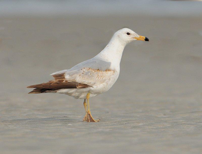 _NW04200 PLB Unknown Gull.jpg