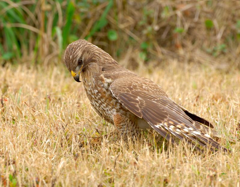 Juvenile Red Shoulder Hawk Pouncing on Grasshopper