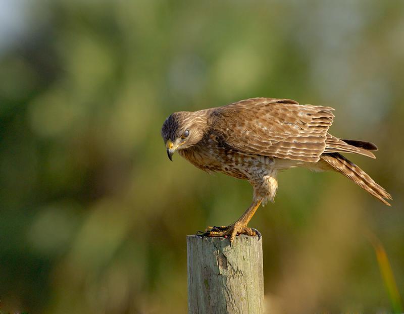 Juvenile Red Shoulder Hawk Eyeing Future Prey
