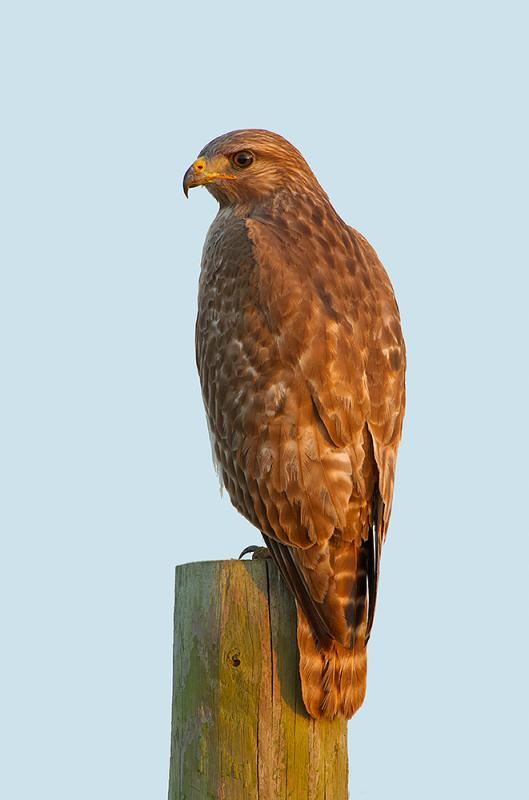 Juvenile Red Shoulder Hawk At Sunset