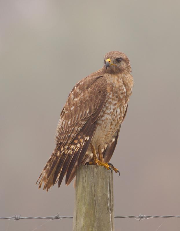 Juvenile Red Shoulder Hawk at Dawn Through Fog