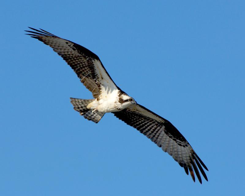 _JFF600 Osprey DD Morning Flight.jpg