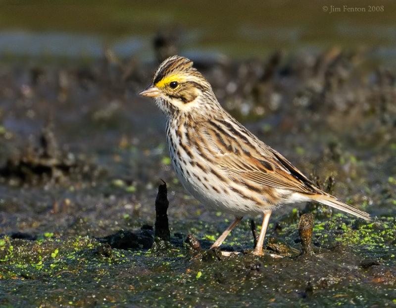 _NW83635 Savannah Sparrow