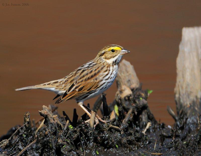 _NW83713 Savannah Sparrow