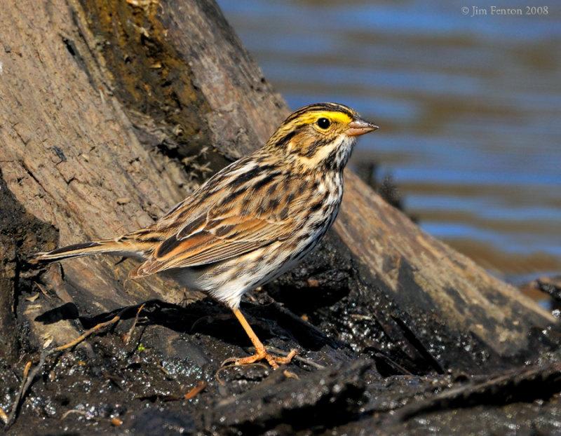 _NW83716 Savannah Sparrow