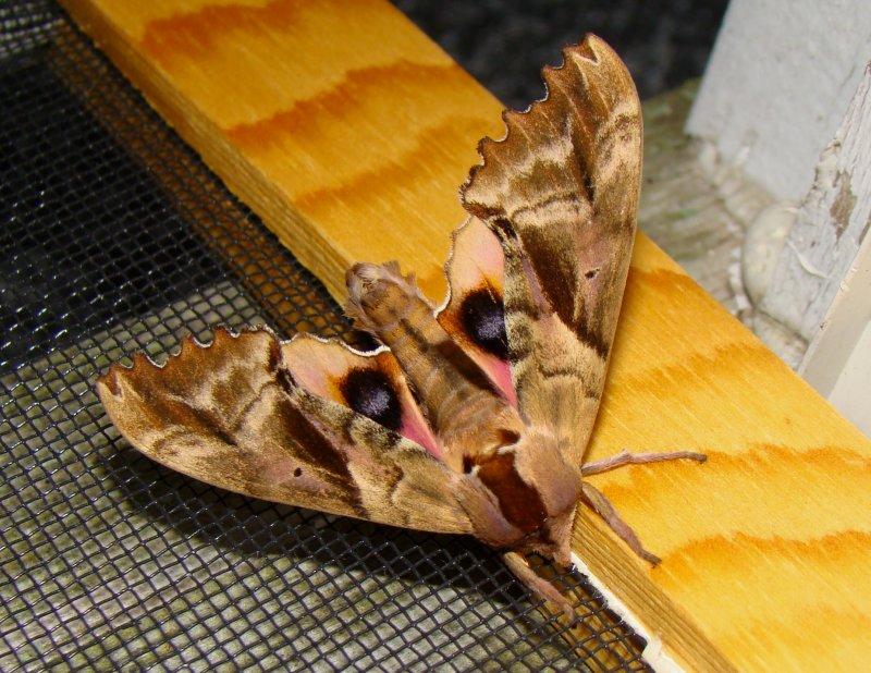 Blinded Hawk Moth - Paonias excaecatus