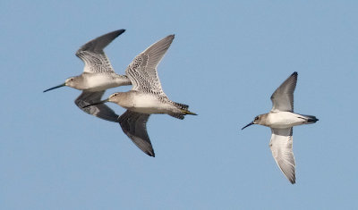 Long-billed Dowitchers with Dunlin, all juvs.