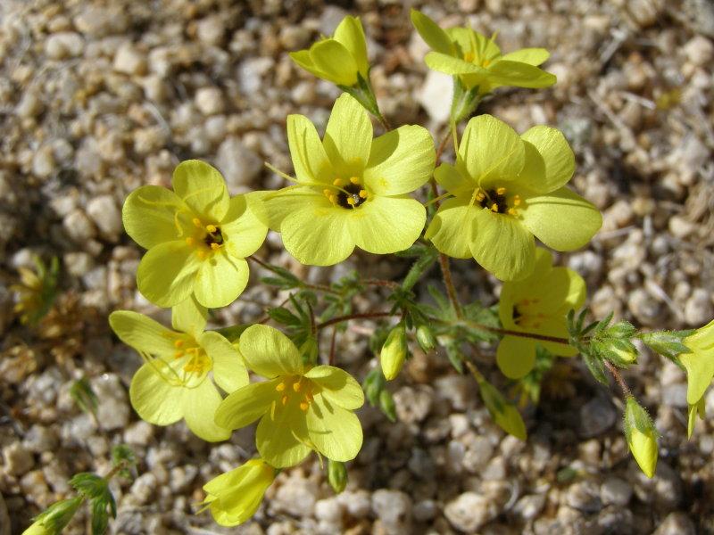 Mojave Desert Wildflower 1