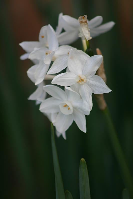 January 15th - Narcissus