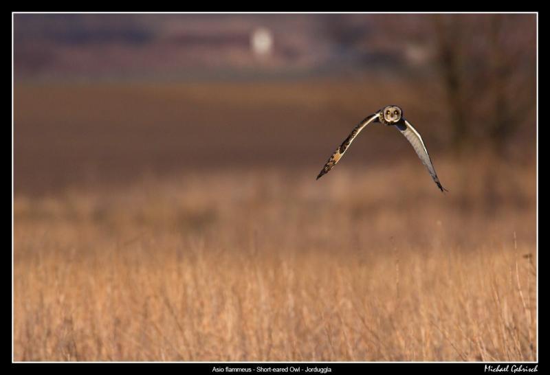 Short-eared Owl, Lund