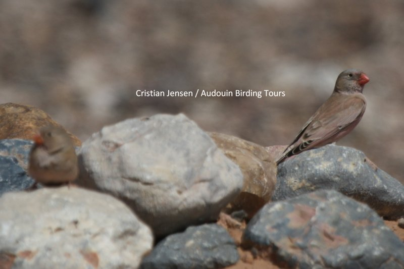 Trumpeter Finch - Bucanethes githaginea