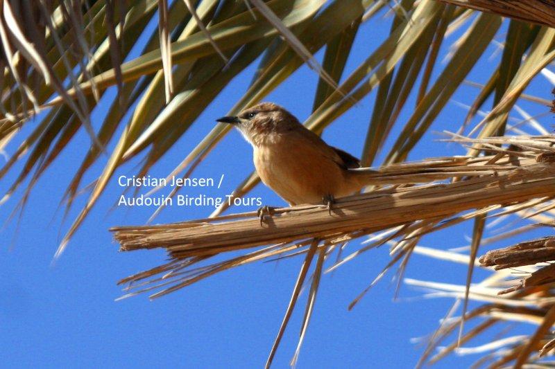 Foulvous Babbler - Turdoides fulvus
