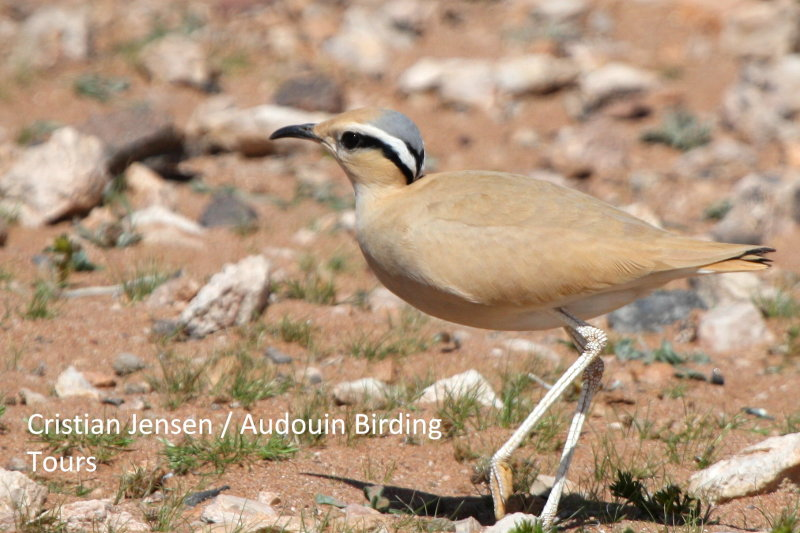 Cream Coulored Courser - Cursorius curser - Corredor Sahariano