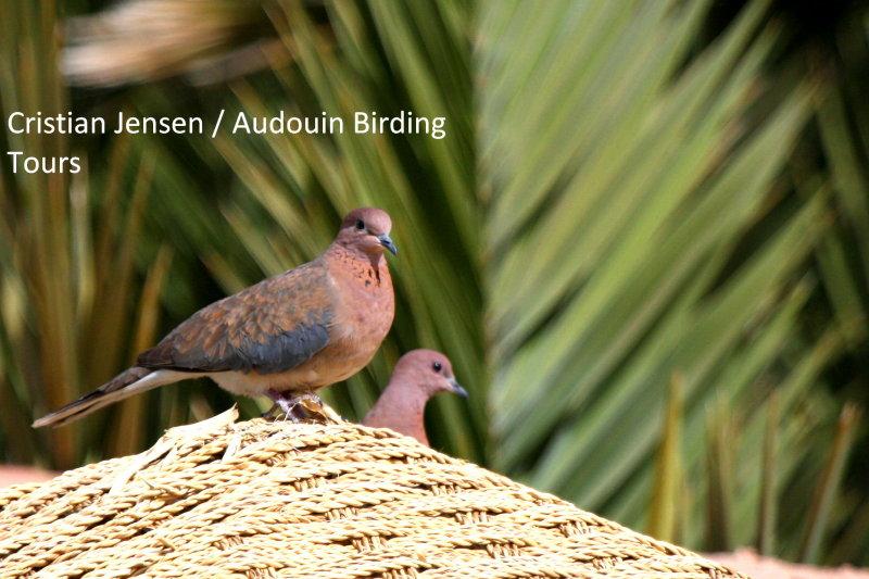 Palm dove - Streptopelia senegalensis