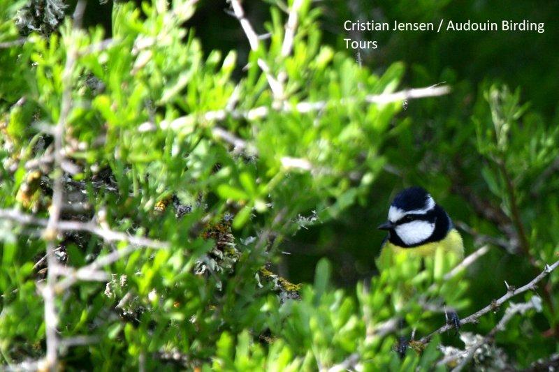 African Blue Tit - Parus (caeruleus) ultramarinus