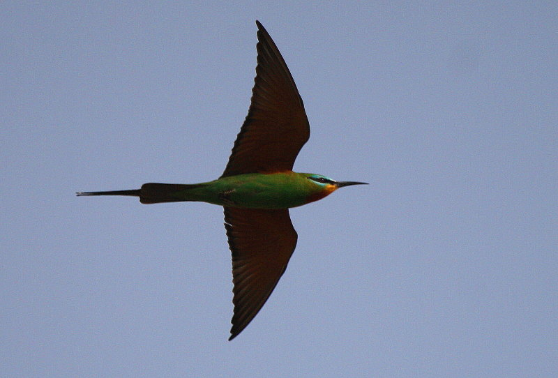 Blue-checked bee-eater - Merops persicus