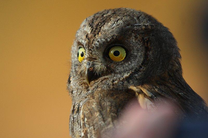 Scops Owl - Otus scops - Autillo - Xot