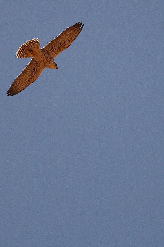 Lanner Falcon - Falco biarmicus erlangeri