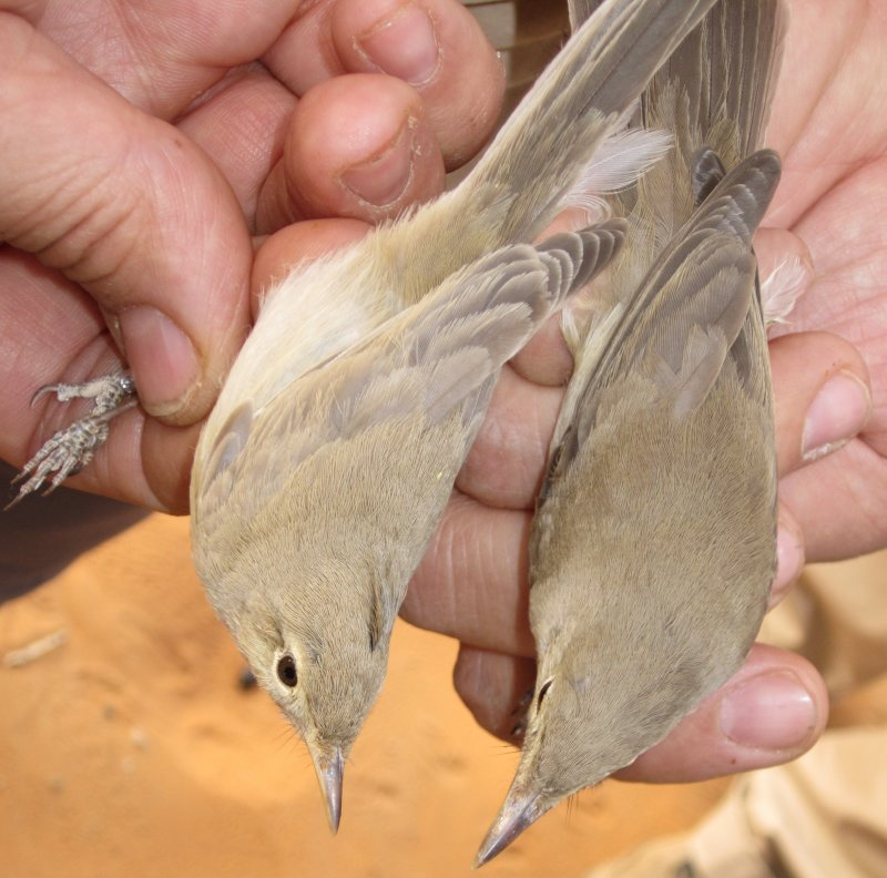 Saharai (left) Western and Olivaceus Warbler - Hippolais (opaca/pallida) reisieri (left) and H. (pallida) opaca (right)