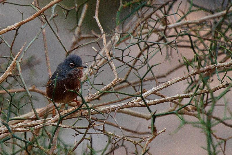 Tristrams Warbler - Sylvia deserticola