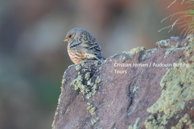 Alpine Accentor - Prunella collaris
