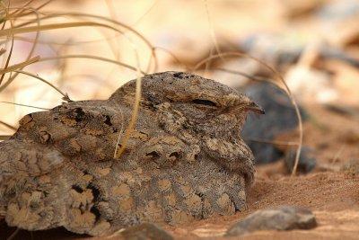 Egyptian Nightjar - Caprimulgus aegyptiacus - Chotacabras Egipcio - Enganyapastors egipci