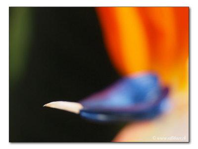 bird-of-paradise flower / Paradiesvogelblume / Strelitzia reginae  (4313)