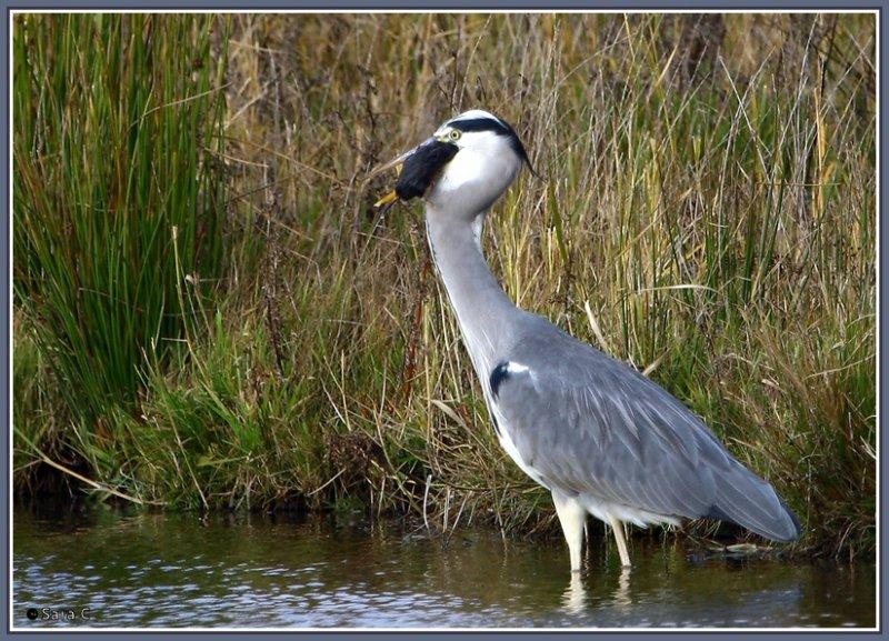 Blauwe Reiger / Grey Heron