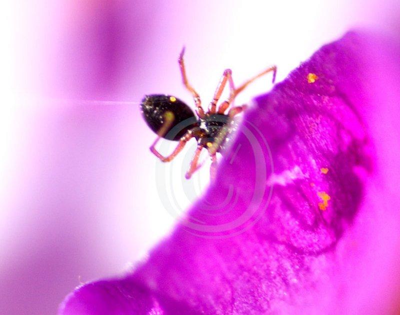 money-spider on crocus petal