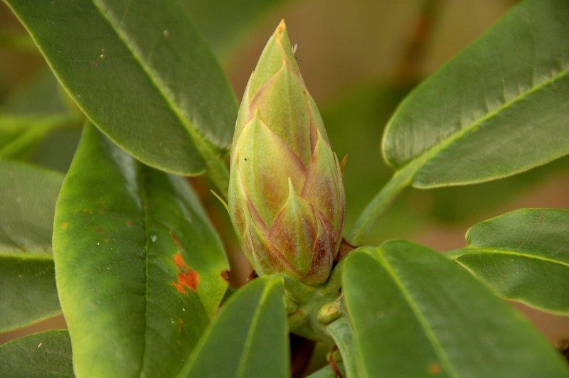 Rhododendron bud in November!