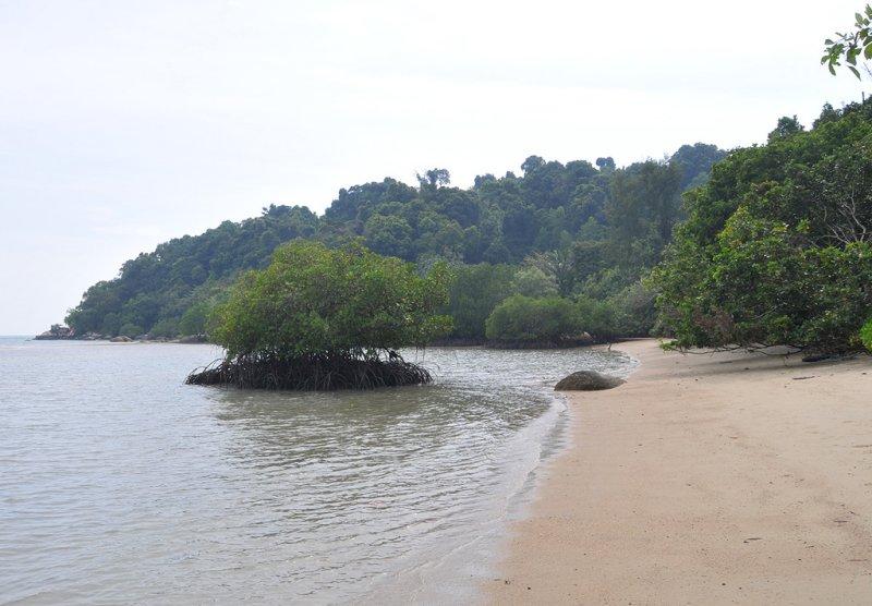 Pulau Besar. Mangrove beach.