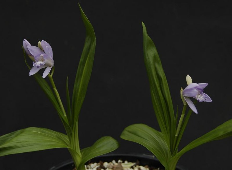 Bletilla striata Murasaki Shikibu. This is the blue form of the well known hardy orchid