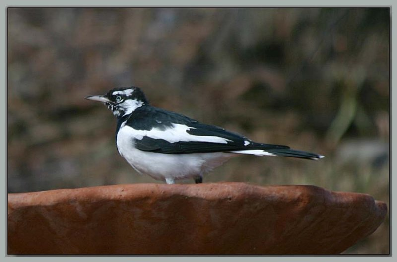 Murray Magpie - 2