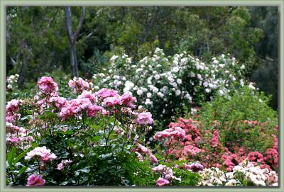 Collection of roses in bloom