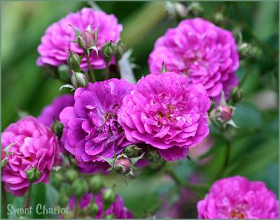 Miniature and Polyantha Roses Down Under GALLERY