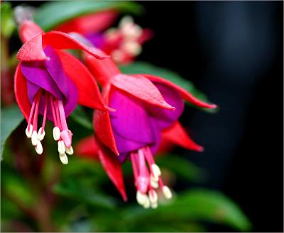 Violet and red fuchsia