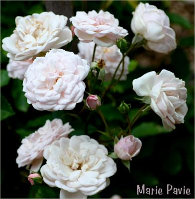 Marie Pavie