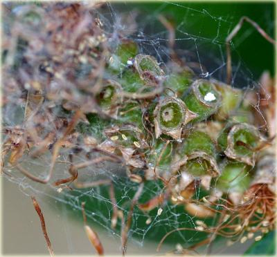 Bottlebrush seed capsules and web