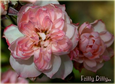 Frilly Dilly