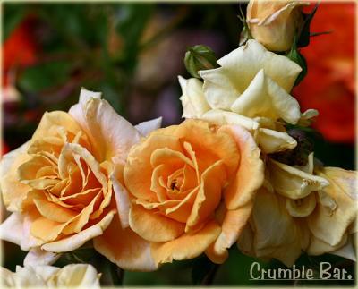 Yellow & Orange Roses Down Under - 2005-2006 GALLERY