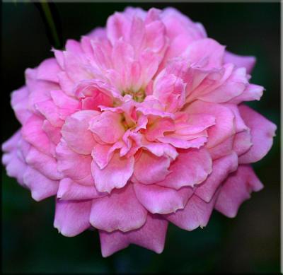 Sunblaze pink
