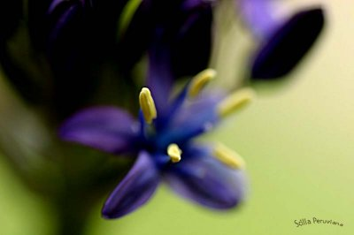 Cuban Lily up close