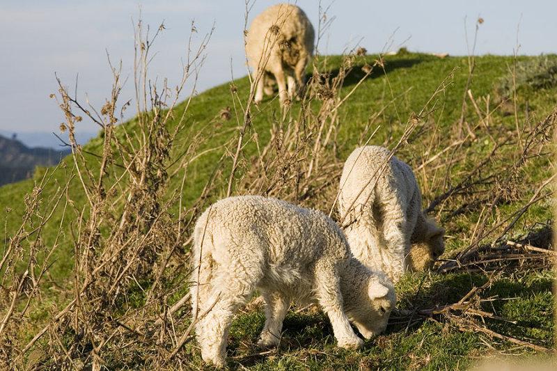 Sheep, sheep and sheep