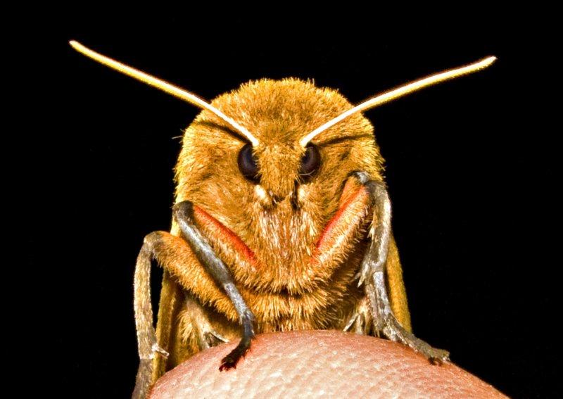 Moth w - White Antennae