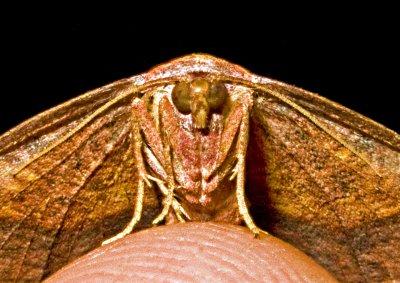 Orange - Brown Moth